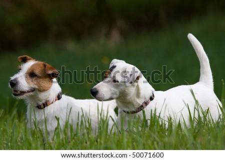 Two nice posing Jack Russel Terrier - stock photo