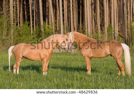 Two nice stallions on pasture - stock photo