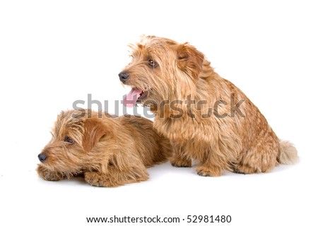 Two Norfolk Terrier dogs isolated on a white background