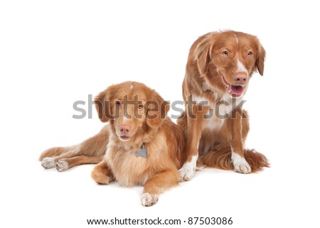 two Nova Scotia Duck Tolling Retriever dogs in front of a white background