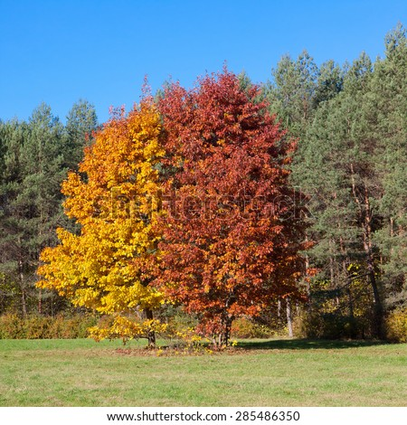 Two oak trees in autumn  - stock photo