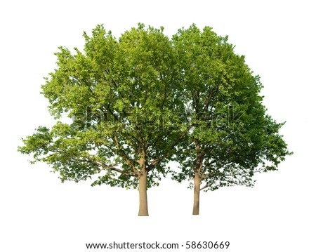 Two oak trees isolated on white background - stock photo