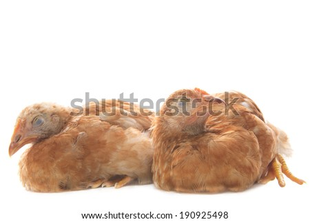 two of eggs hen chicken asleeping on white background use for funny and comedy animals theme - stock photo