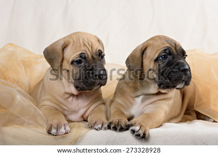 Two of the breed cane Corso puppy