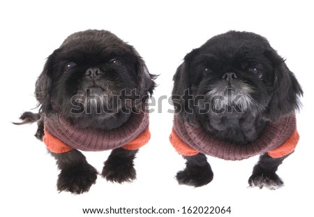 Two old black Pekingese dogs dressed in their winter sweaters isolated on white - stock photo