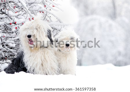 two old english sheepdogs sitting in winter meadow - stock photo