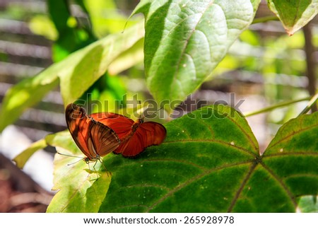 Two orange butterflies mating in Phuket Butterfly Garden, Thailand - stock photo