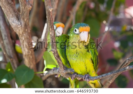 Two orange fronted parakeet birds sitting on a branch in a tree