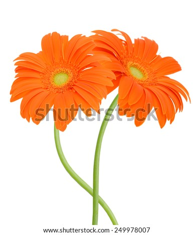 Two orange gerber flowers. Isolated on white background