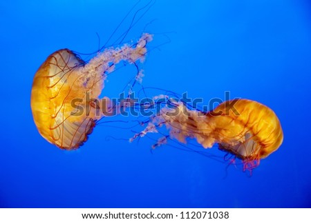 Two orange jellyfish in an aquarium with blue water background - stock photo