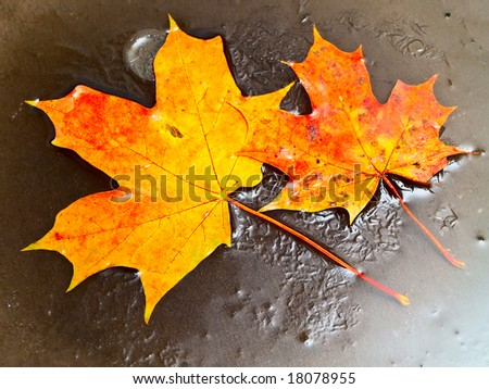 two orange maple leaves in ice - stock photo