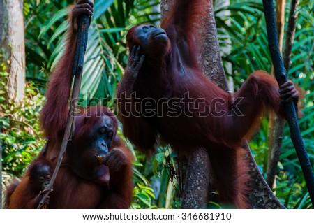 two Orangutan hanging on a tree in the jungle, Kalimantan, Borneo, Tanjung Puting, Indonesia - stock photo