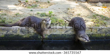 Two otters going to swim, zoo, Thailand