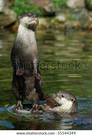 Two otters, one standing, one swimming. - stock photo