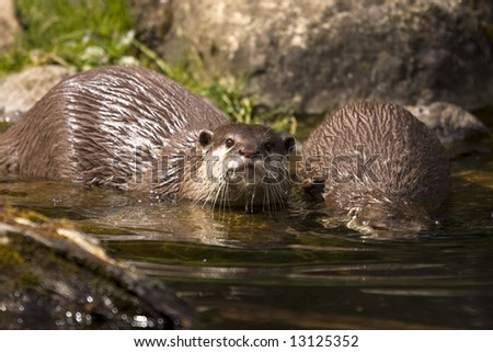 two otters taking a dip in river water