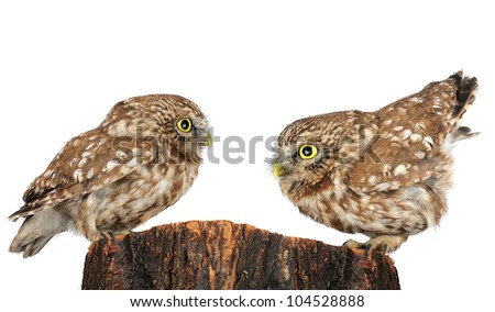 two owl the isolated sitting on hemp - stock photo