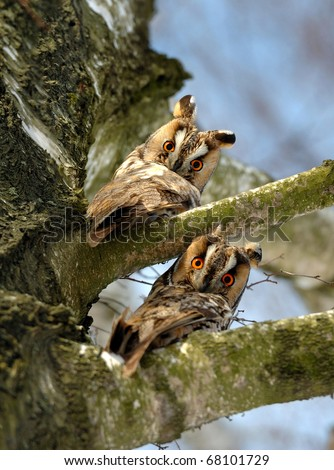 Two owls sit on a tree - stock photo