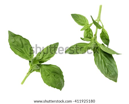 two pair of green basil leaves isolated on a white background without any shadow.  - stock photo