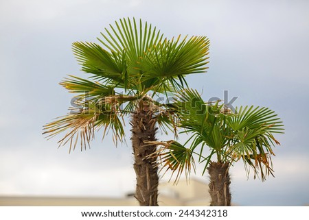Two palm tree with fading leaves against the sky. Shallow depth of field. - stock photo