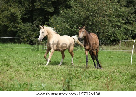 Two palomino horses running on pasturage in autumn