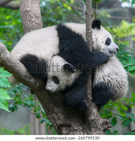 Two panda bears hugging - stock photo