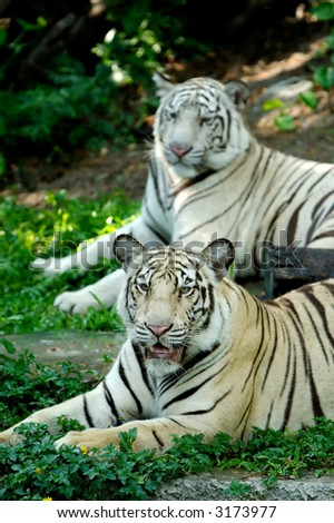 Two Panthera Tigris sitting and one of them staring at the camera. - stock photo
