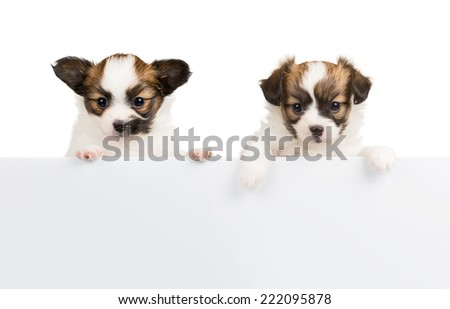 Two Papillon puppy, 1 month old, relies on blank banner. White background - stock photo