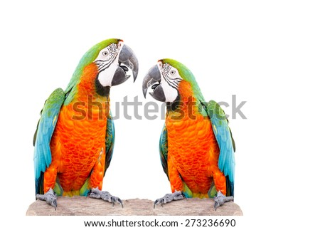 Two parrot standing on dry tree isolated over white background
