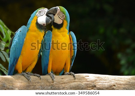 Two parrot yellow and blue feather mating with love kiss  - stock photo
