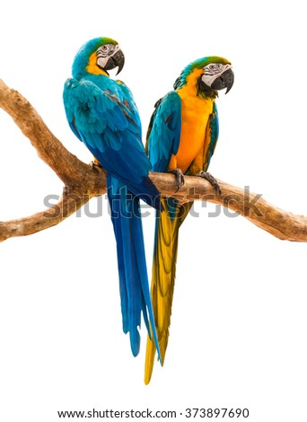 two parrots colorful isolated on white background with path - stock photo