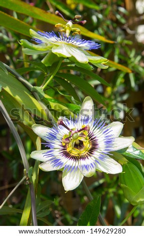 two passionflowers on a vine - stock photo