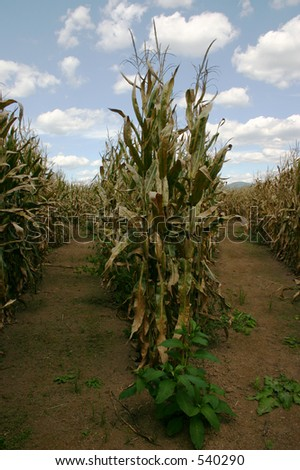 Two Paths in Corn Maze - stock photo