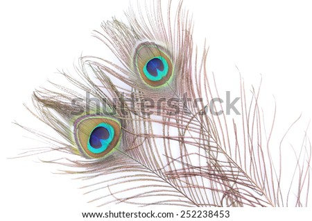 Two Peacock feather on white background