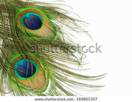 Two peacock feathers on a white background