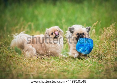 Two pekingese dogs playing with a ball