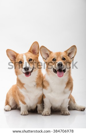 Two pembroke welsh corgi females posing on white background smiling