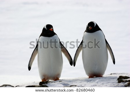 two penguins walk side by side, against the backdrop of the snow - stock photo
