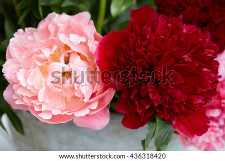Two peony flowers in red and pink colors with leaves