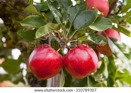 Two perfect red apples on a tree, in an organic apple orchard