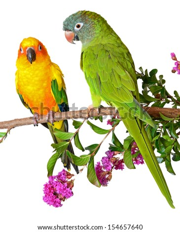 Two Pet Conures perching on a Crape Myrtle Branch - stock photo