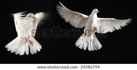 two pigeon fly together with black back ground
