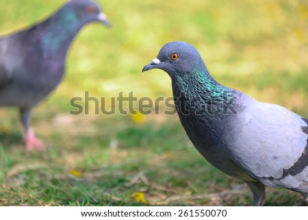 Two Pigeons are friend - stock photo