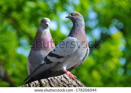 Two pigeons spring flirting