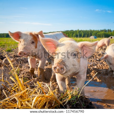 Two piglets standing on a field outside on a pigfarm in Dalarna, Sweden - stock photo
