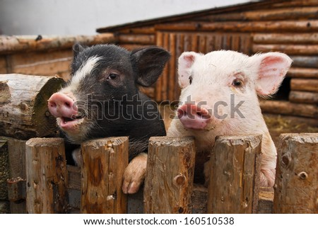 Two Pigs - stock photo