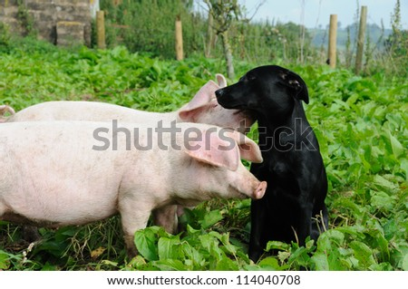 Two pigs and a black labrador outdoors