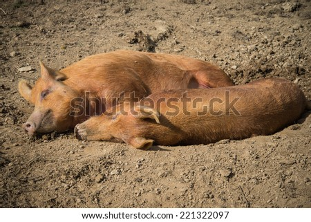 Two pigs laying on farm