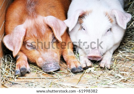 Two pigs lie on hay - stock photo