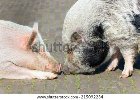Two pigs making contact by sniffing at each other - stock photo