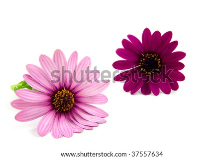 two pink daisy flowers isolated on white background